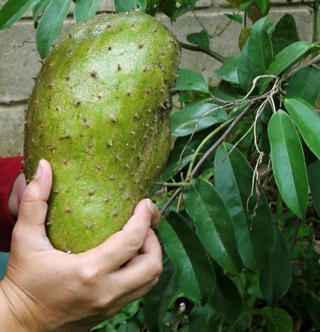 le fruit de Graviola Corossol et ces feuilles anti-cancer naturel
